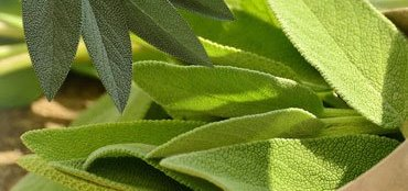 Why Sage isConsidered to Be a Miracle Herb?