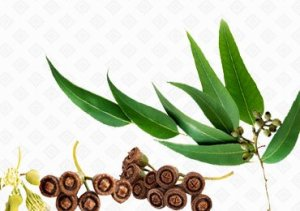 Health Benefits of Eucalyptus