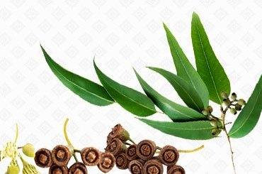 Health Benefits of Eucalyptus