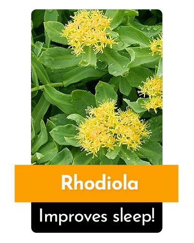 Rhodiola Herb For Energy