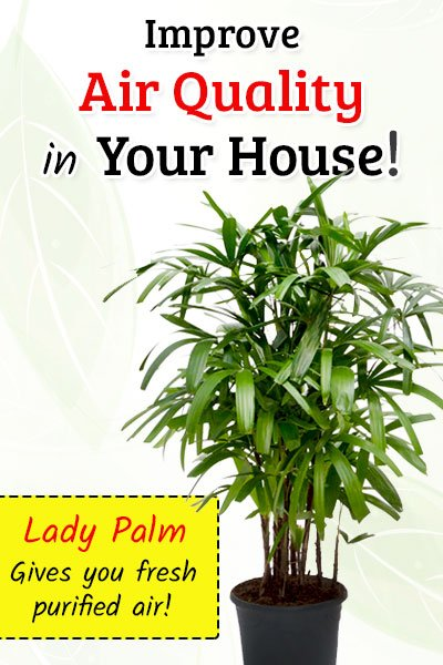 Lady Palm To Improve Air Quality