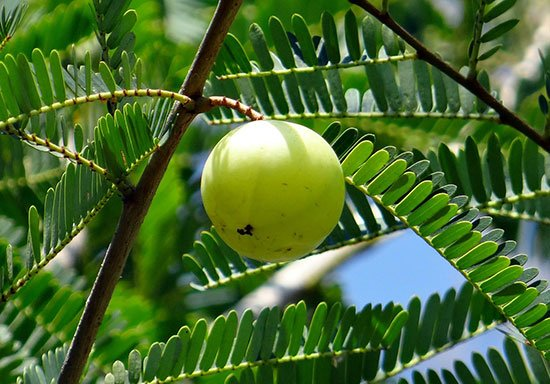 Alma or Indian Gooseberry is Effective to treat Frequent Urination