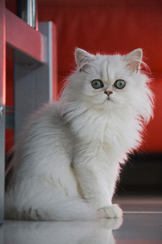 Fashion, Style, Animal Love, Persian Cat, Cat Love, White Fluffy Cat, Stylish Cat, Animal Fashion, Pet Love
