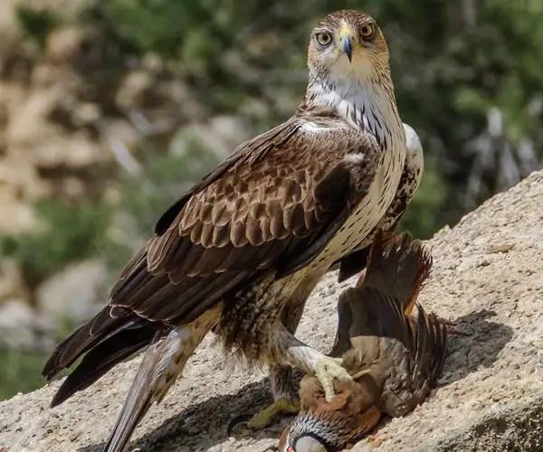 Bonneli eagle
