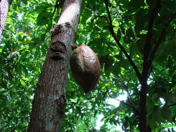 cacao_tree_5