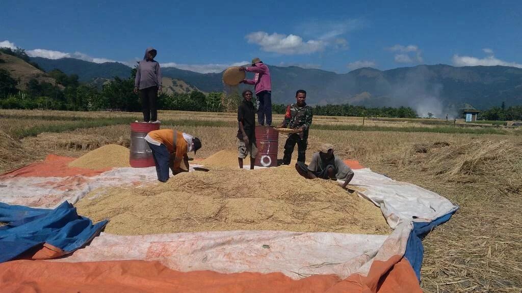 Babinsa Panen Padi Bersama Petani di Sikka