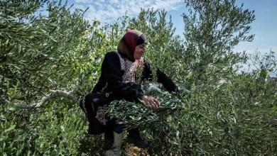 Photo of Jelang Panen Zaitun, Israel Malah Larang Warga Palestina ke Kebun