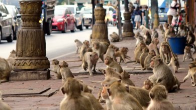 Photo of Bila pekan dikuasai monyet, ibarat kisah Planet Of The Apes