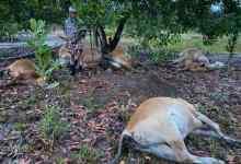 Photo of Tujuh ekor lembu dipanah petir