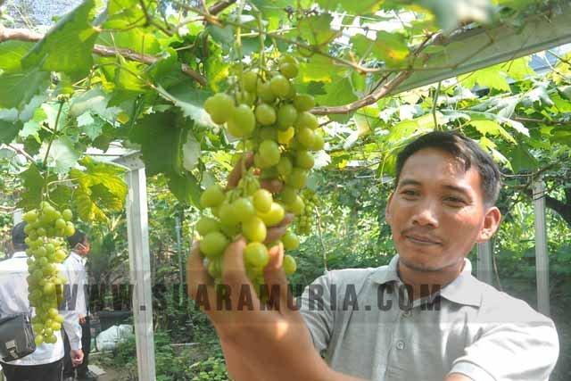 anggur di Patiayam