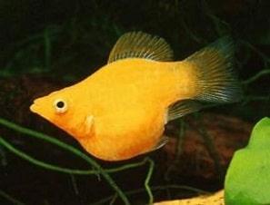 ikan molly balon