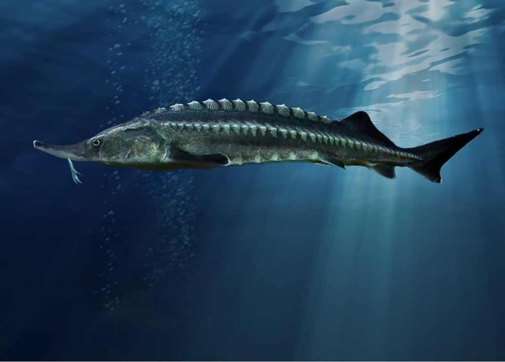 Ikan Beluga Sturgeon