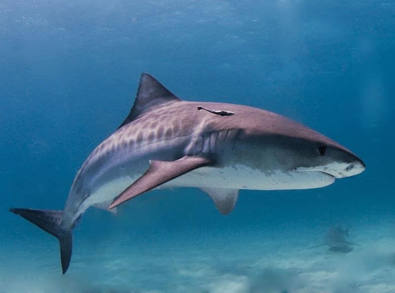 ikan hiu harimau