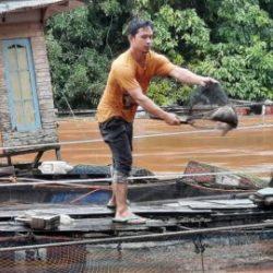 MERUGI Miliaran Rupiah Pembudidaya Ikan Nila di Kecamatan Karang Intan