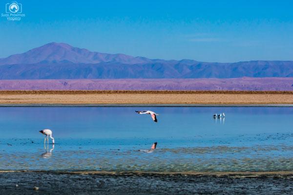 Flamingos sobrevoando na Laguna Chaxa no Atacama