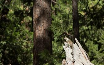 Um esquilo observando o Merced River no Parque Nacional Yosemite