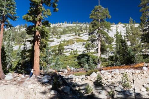 Imagem de uma Sequoia Jovem no Parque Nacional Yosemite