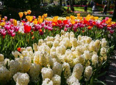Flores de Bulbo no Parque Keukenhof o Parque das Tulipas