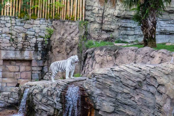 Exposição do Tigre Branco no Busch Gardens