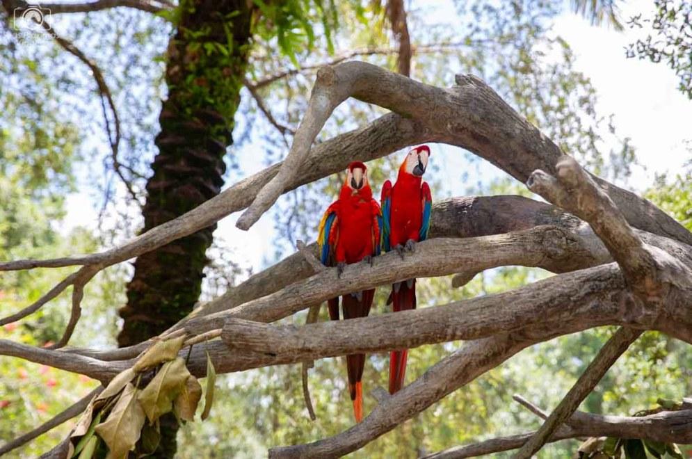 Araras do Avíario do Busch Gardens