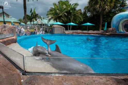 Dolphins brincando na Piscina do Seaworld Orlando