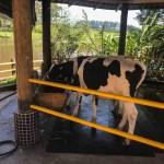 Imagem de uma vaca se alimentando no leite na Pista a caminho de Campos do Jordão