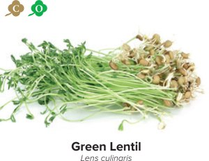 sprouts green lentil