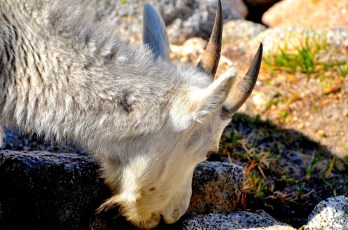 Mountain goat upclose