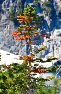 Larch already getting orange?