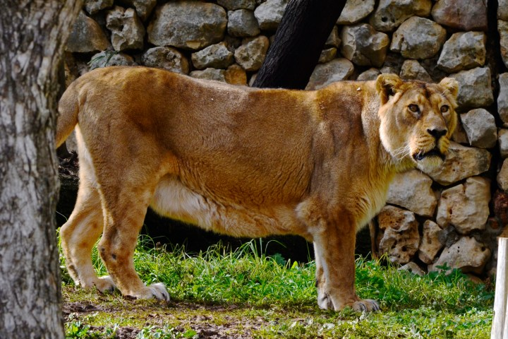 Lion at the Jerusalem Biblical Zoo