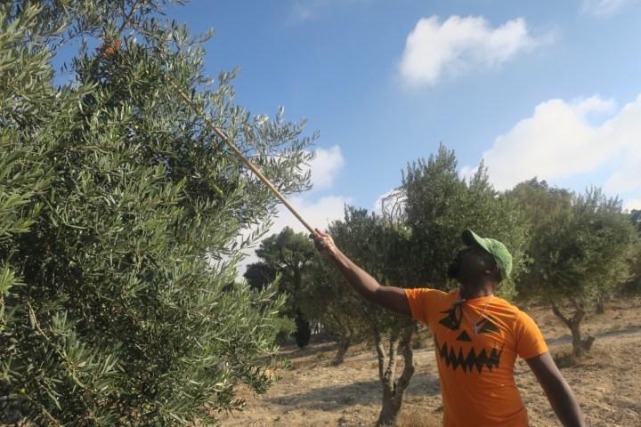 Olive Picking at the Mount of Olives in Jerusalem