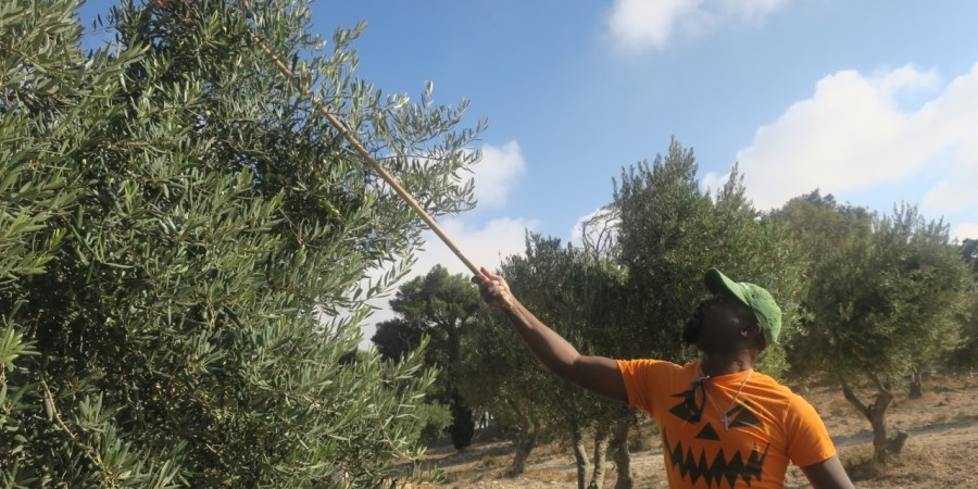 Olive Picking at the Mount of Olives in Jerusalem