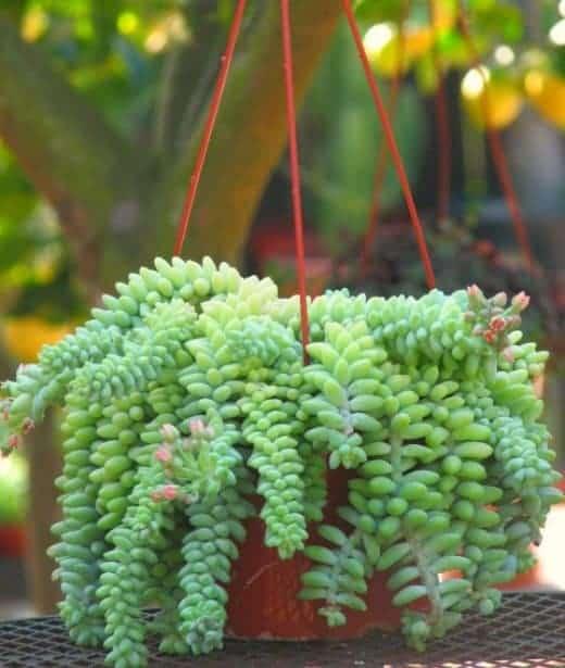 Sedum morganianum – Burro's Tail