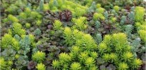 edible succulents