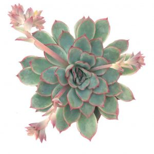 pronounce echeveria