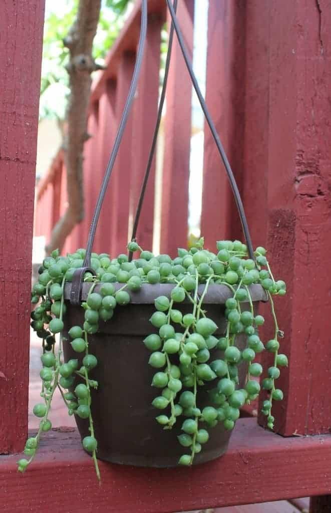 String Of Pearls Care Guide Senecio Rowleyanus Sublime Succulents