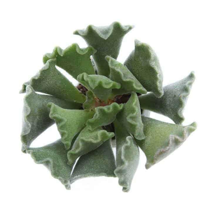 dog safe succulents