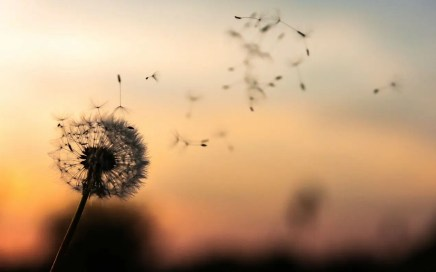 dandelion seeds bloing on the breeze for healing