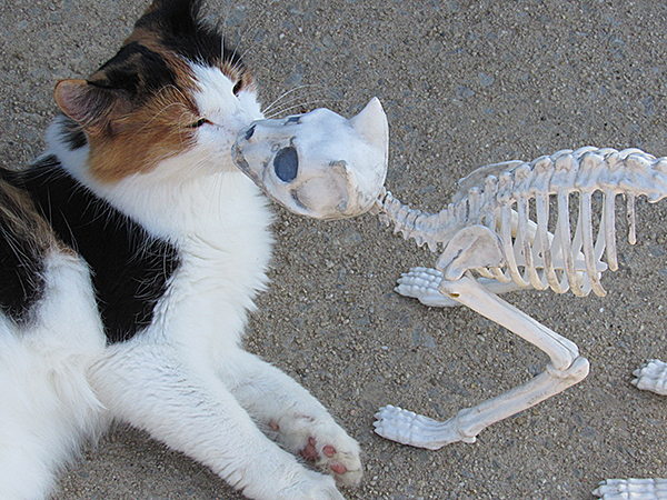 The skeleton is not a real cat!