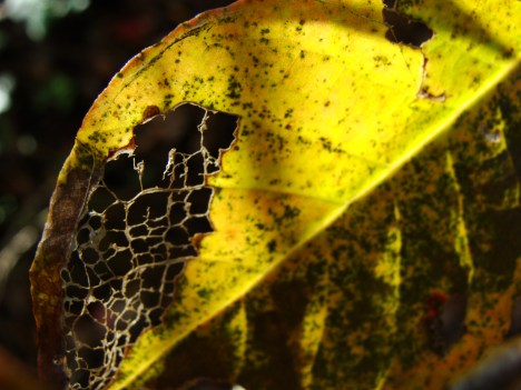 10-13 Eaten Leaf