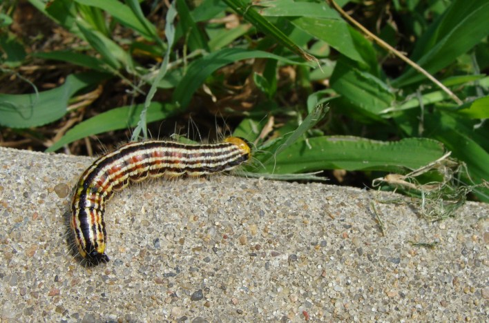 STRIPES -- One of last fall's caterpillars with racing stripes.