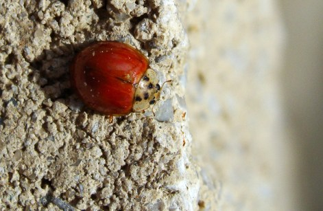 Spotless ladybug on a ledge.