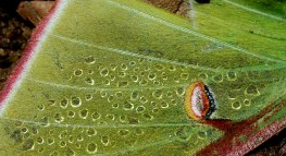 Condensation droplets form on the side of this luna moth wing laying on the forest floor.