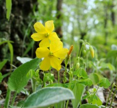 Yellow wood sorrel in the forest.