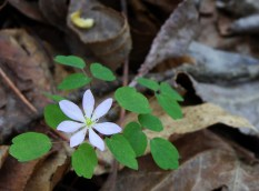 Rue anemone brightens the forest floor. Thanks to Dr. Twig for the ID!