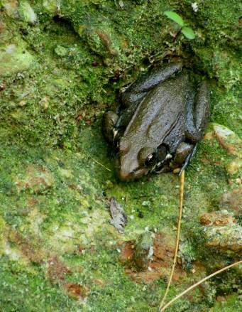 Bronze colord frog clings to mountainside.