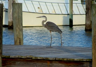 Great blue strolls the marina dock.