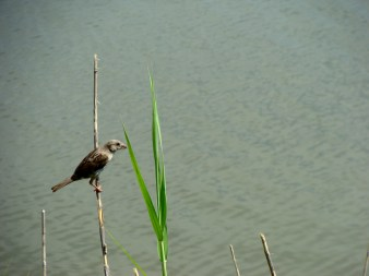 Bird clings to a reed near the Dauphin Island estuarium.
