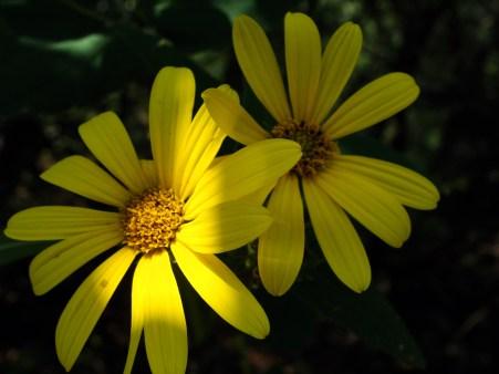 8-24-Yellow-Sunflowers
