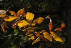 Yellow leaves of hickory trees